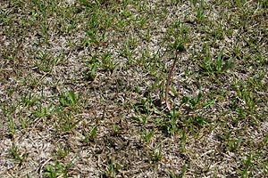 Pre Eco Lawn Grass: burnt out and weedy
