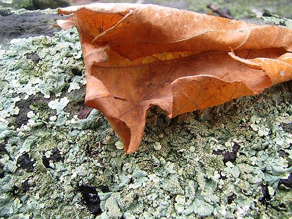 Lichen Leaf Photo Taylors Falls MN